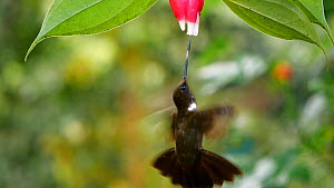 Slow motion clip of a Brown Inca (Coeligena wilsoni) hummingbird drinking nectar from a Cavendishia flower, western slopes of the Andes, Ecuador.  -  Morley Read