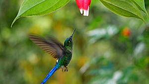 Slow motion clip of a Violet tailed sylph (Aglaiocercus coelestis) hummingbird drinking nectar from a Cavendishia flower, near Mindo, Ecuador.  -  Morley Read