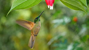 Slow motion clip of a Rufous tailed hummingbird (Amazilia tzacatl) feeding from a Cavendishia flower, western slopes of the Andes, Ecuador.  -  Morley Read