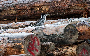 White-backed woodpecker, (Dendrocopos leucotos), male looking for food on cut logs, Finland, January.  -  Jussi Murtosaari