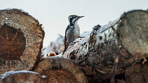 White-backed woodpecker, (Dendrocopos leucotos), male looking for food on logs, Finland, January.  -  Jussi Murtosaari