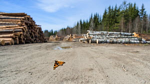 Large tortoiseshell butterfly (Nymphalis xanthomelas), flying in front of logged forest habitat, which had been destroyed during its hibernation period. Finland, April.  -  Jussi Murtosaari