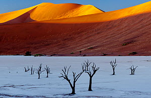 Red dunes towering over the ancient dead forest at dawn. Trees are thought to be 900 year old. Deadvlei, Namib Naukluft Park, Namibia, Africa.  -  Jack Dykinga