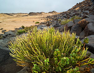 Euphorbia and succulents growing amid baslt boulders, Dorob National Park, Namibia  -  Jack Dykinga