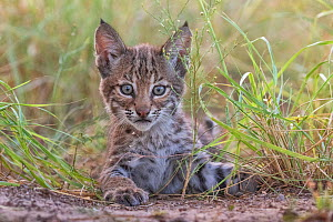 Portrait of a wild female Bobcat (Lynx rufus) kitten playing, Texas, USA. September.  -  Karine Aigner