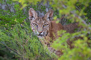 Portrait of a wild female adult Bobcat (Lynx rufus) looks at the camera, Texas, USA. September. September.  -  Karine Aigner
