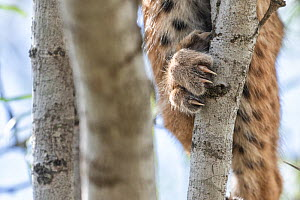 Close-up of the claws of a Bobcat (Lynx rufus) kitten, Texas, USA. September.  -  Karine Aigner