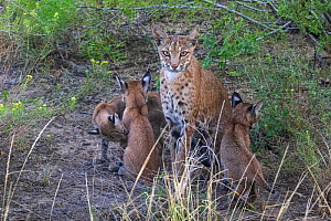 A wild female Bobcat (Lynx rufus) and her three kittens, Texas, USA. September.  -  Karine Aigner
