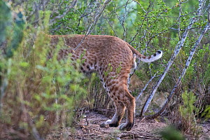 Rear half of wild male Bobcat (Lynx rufus) showing its short tail, Texas, USA.  -  Karine Aigner