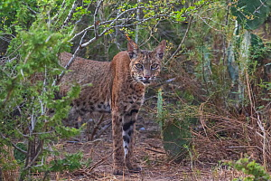 Wild female adult Bobcat (Lynx rufus) looks at the camera, Texas, USA. September.  -  Karine Aigner