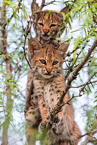 Portrait of two wild Bobcat (Lynx rufus) kittens in a tree, Texas, USA. September.  -  Karine Aigner