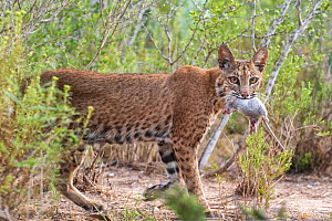 A female Bobcat (Lynx rufus) with Hispid cotton rat (Sigmodon hispidus) prey, Texas, USA. September.  -  Karine Aigner