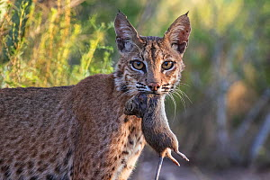 Portrait of a wild adult female Bobcat (Lynx rufus) with Hispid cotton rat (Sigmodon hispidus) prey, Texas, USA. September.  -  Karine Aigner