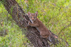 Portrait of a wild Bobcat (Lynx rufus) kitten with blue eyes climbing in a tree, Texas, USA. September.  -  Karine Aigner