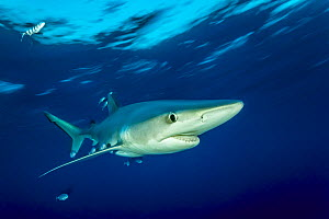 Blue shark (Prionace glauca) and Pilot fish (Naucrates ductor), Pico Island, Azores, Portugal, Atlantic Ocean  -  Franco  Banfi