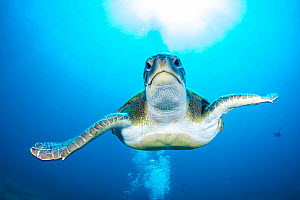 Green turtle (Chelonia mydas), South Tenerife, Canary Islands, Atlantic Ocean.  -  Franco  Banfi