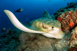Bull ray (Pteromylaeus bovinus), South Tenerife, Canary Islands, Atlantic Ocean.  -  Franco  Banfi