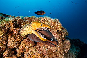 Tiger moray / Fangtooth Moray (Enchelycore anatina) and Black moray eel (Muraena augusti), South Tenerife, Canary Islands, Atlantic Ocean.  -  Franco  Banfi