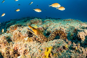 Tiger / Fangtooth Moray (Enchelycore anatina), South Tenerife, Canary Islands, Atlantic Ocean.  -  Franco  Banfi