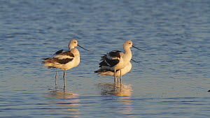 American avocets (Recurvirostra americana) preening in a salt marsh, Bolsa Chica Ecological Reserve, Southern California, USA.  -  John Chan