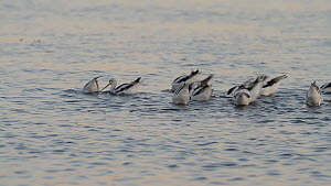 American avocets (Recurvirostra americana) feeding on aquatic invertebrates at twilight, Bolsa Chica Ecological Reserve, Southern California, USA.  -  John Chan