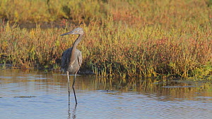 Juvenile Reddish egret (Egretta rufescens) catching a fish in a salt marsh, Bolsa Chica Ecological Reserve, Southern California, USA, October.  -  John Chan