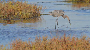 Juvenile Reddish egret (Egretta rufescens) hunting in salt marsh, Bolsa Chica Ecological Reserve, Southern California, USA. October/2019  -  John Chan
