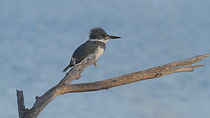 Belted kingfisher (Megaceryle alcyon) on fishing perch, Bolsa Chica Ecological Reserve, Southern California, USA.  -  John Chan