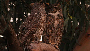 Great horned owl (Bubo viginianus) pecking its mate, Bolsa Chica Ecological Reserve, Southern California, USA.  -  John Chan