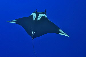 Giant mantray (Mobula birostris ) swimming in the open water, Revillagigedo islands, Mexico. Pacific Ocean.  -  Pascal Kobeh