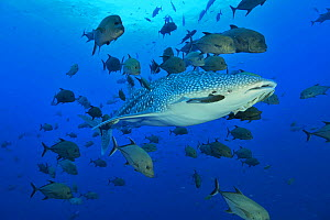 Whale shark (Rhincodon typus) with Remora (Remora remora) near its eye swimming in the open water surrounded with black jacks or trevally (Caranx lugubris), Revillagigedo islands, Mexico. Pacific Ocea...  -  Pascal Kobeh