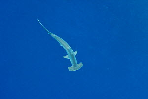 Scalloped hammerhead (Sphyrna lewini) quite far and deep in the open water, Revillagigedo islands, Mexico. Pacific Ocean.  -  Pascal Kobeh
