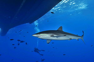 Silky shark (Carcharhinus falciformis) close to the surface and near boat with Black jacks / Trevally (Caranx lugubris) and diver in the background, Revillagigedo islands, Mexico. Pacific Ocean.  -  Pascal Kobeh
