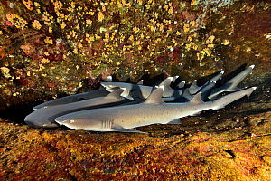 Group of White tip sharks (Triaenodon obesus) lying on the bottom, Revillagigedo islands, Mexico. Pacific Ocean.  -  Pascal Kobeh
