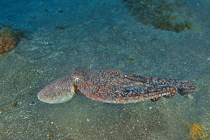 Galapagos reef octopus (Octopus oculifer) on sea floor, Revillagigedo islands, Mexico. Pacific Ocean.  -  Pascal Kobeh