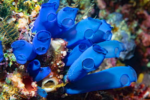 Blue-ring sea squirt (Clavelina coerulea) clustered around another Sea squirt. Derawan Island, East Kalimantan, Indonesia.  -  Georgette Douwma