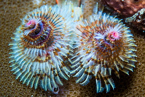 Christmas tree worms (Spirobranchus sp). Derawan Islands, East Kalimantan, Indonesia.  -  Georgette Douwma