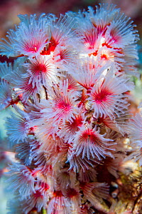 Delicate tube worm (Filogranella elatensis). Derawan Islands, East Kalimantan, Indonesia.  -  Georgette Douwma
