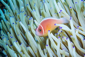 Pink anemonefish (Amphiprion perideraion). Derawan Islands, East Kalimantan, Indonesia.  -  Georgette Douwma