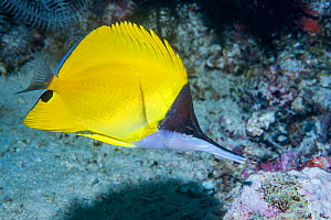 Long-nosed butterflyfish (Forcipiger flavissimus). Derawan Islands, East Kalimantan, Indonesia.  -  Georgette Douwma