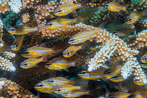 Cardinalfish (Apogon sp) shoal sheltering in Coral branches. Derawan Islands, East Kalimantan, Indonesia.  -  Georgette Douwma