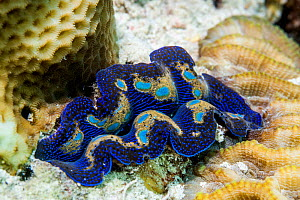 Giant clam (Tridacna sp) mantle. Derawan Island, East Kalimantan, Indonesia.  -  Georgette Douwma