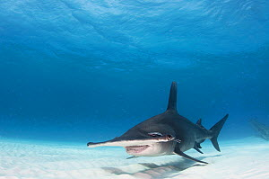 Great hammerhead shark (Sphyrna mokarran) swimming over sandy seabed, Bimini, Bahamas.  -  Shane Gross