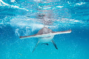 A Great hammerhead shark (Sphyrna mokarran) swimming towards the camera, Bimini, Bahamas.  -  Shane Gross