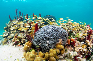 A school of Grunts (Haemulon chrysargyreum) among corals and sponges in a patch reef, Eleuthera, Bahamas.  -  Shane Gross