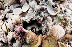 Common octopus (Octopus vulgaris) hiding in her den surrounded by empty shells, the remains of her meals. Eleuthera, Bahamas.  -  Shane Gross