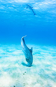 Bottlenose dolphin (Tursiops truncatus) use echo-location to find prey hiding just under the sand, Eleuthera, Bahamas.  -  Shane Gross