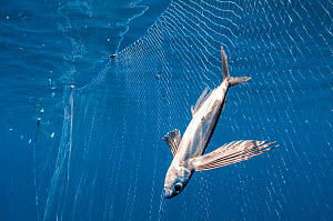 Flying fish (Exocoetidae) caught and drowned in a drift net off the coast of Sri Lanka.  -  Shane Gross