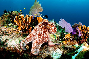 Common octopus (Octopus vulgaris) on a coral reef, The Bahamas. August.  -  Shane Gross
