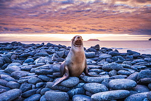 Galapagos Sea Lion (Zalophus californianus wollebacki) resting on rocks at sunset on North Seymour Island, Galapagos, Ecuador. December.  -  Shane Gross